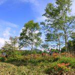 湯の丸高原のツツジは今週が見頃です。